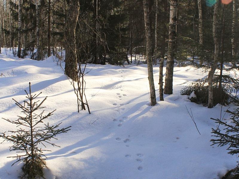 Взаповеднике «Брянский лес» стало больше волков